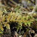 صورة <i>Hylocomium splendens</i> W. P. Schimper ex B. S. G. 1852