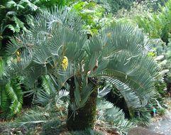 Image of Encephalartos