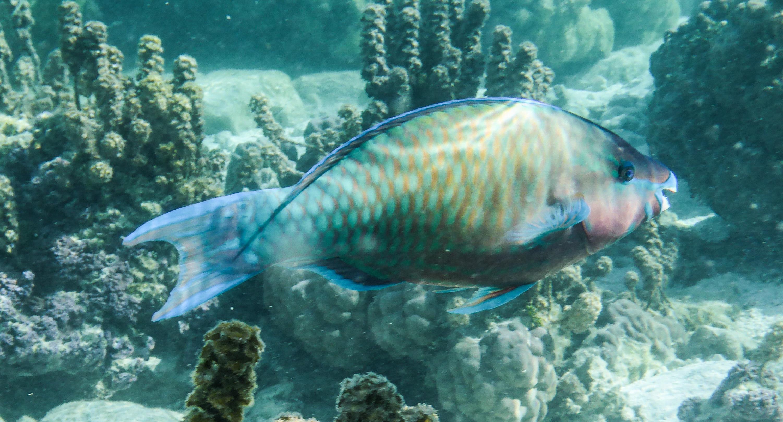 Image of <i>Scarus psittacus</i>