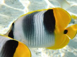 Image of Pacific Double-saddle Butterflyfish