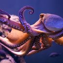 Image of Octopus Vulgaris