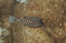 Image of Black boxfish