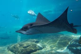 Image of Common Eagle Ray