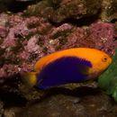 Image of African Cherubfish