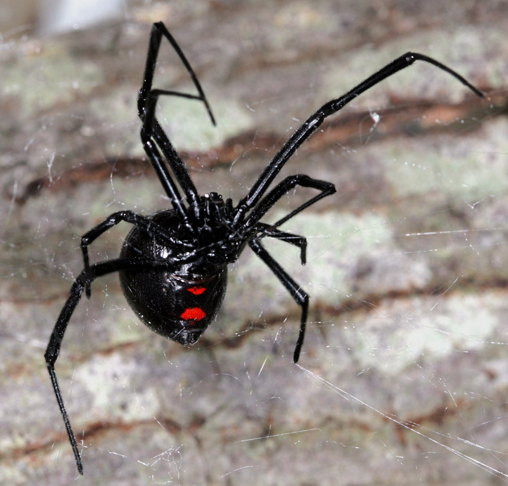 Image of Northern Black Widow