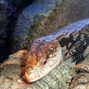 Image of Great moluccan skink