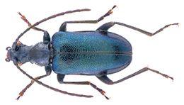 Image of <i>Dinoptera minuta</i> (Gebler 1832)