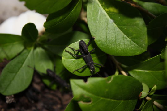 Image of Black Beauty Stick Insect