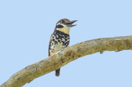 Image of Spotted Puffbird