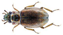 Image of <i><i>Ochthebius</i></i> (Ochthebius) <i>virgula</i> Ferro 1986