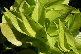 Image of <i>Epipremnum pinnatum aureum</i>