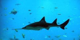 Image of Smalltooth Sawfish