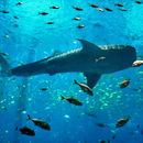 Image of whale sharks