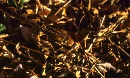 Image of <i>Leptodeira rhombifera</i>