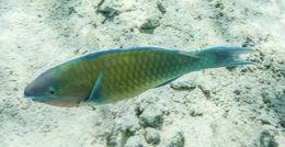 Image of Globehead Parrotfish