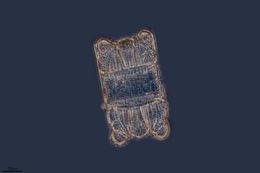 Image of <i>Biddulphia biddulphiana</i>