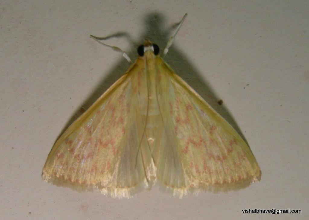 Image of <i>Paliga machoeralis</i> Walker 1859