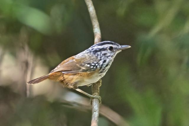 Image of Guianan Warbling Antbird