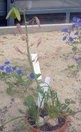 Image of <i>Albuca spiralis</i> L. fil.