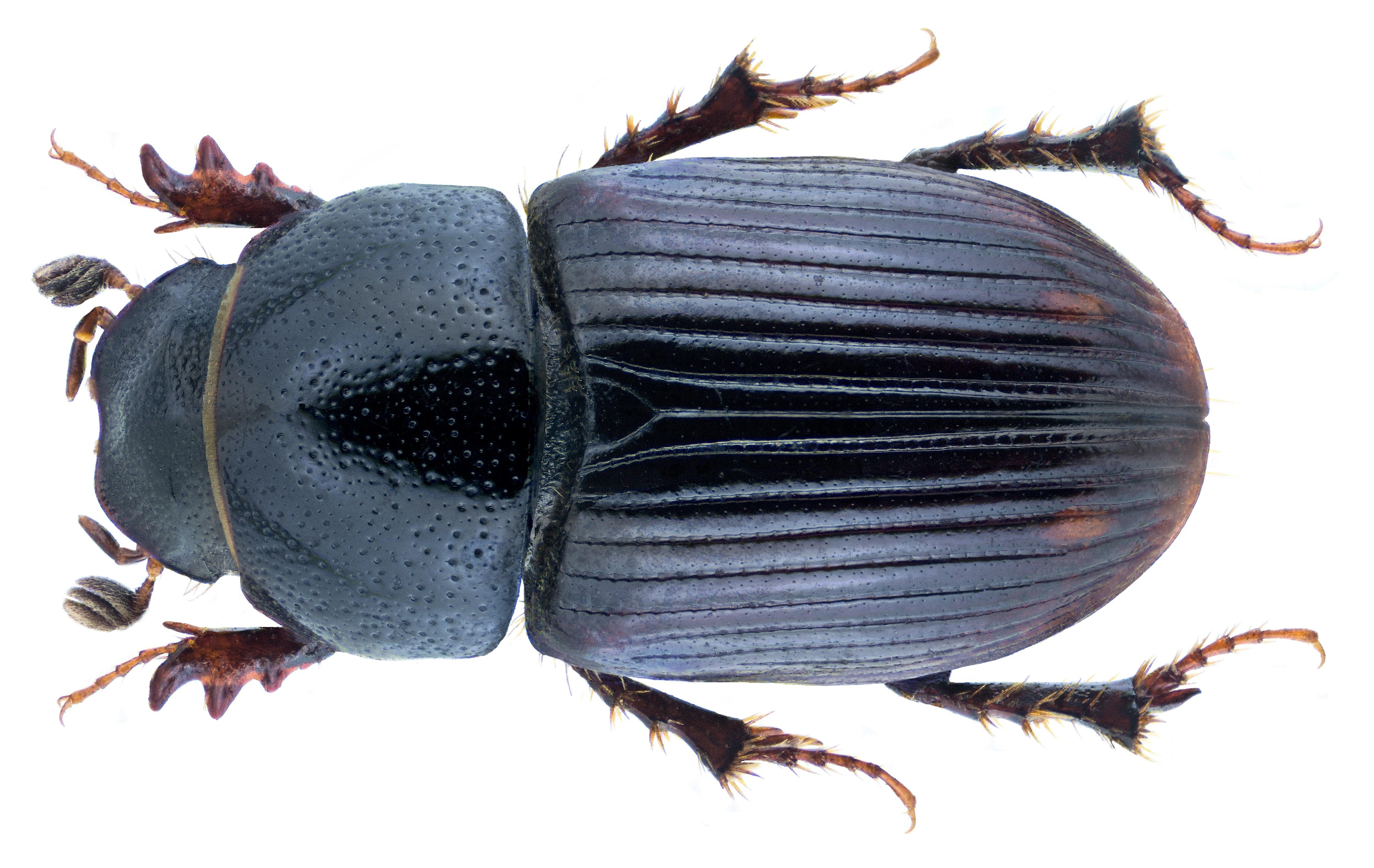 Image of <i>Euorodalus paracoenosus</i> (Balthasar & Hrubant 1960)