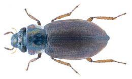 Image of <i><i>Ochthebius</i></i> (Ochthebius) <i>hellenicus</i> (Ieniştea 1988)