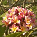 Image of Plumeria flore roseo odoratissimo