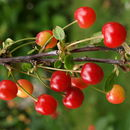 Image of sour cherry
