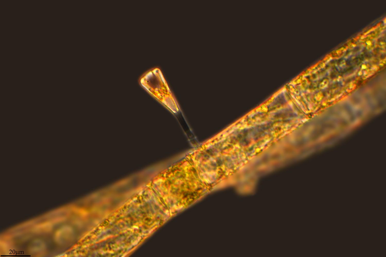 Image of <i>Gomphonema truncatum</i>