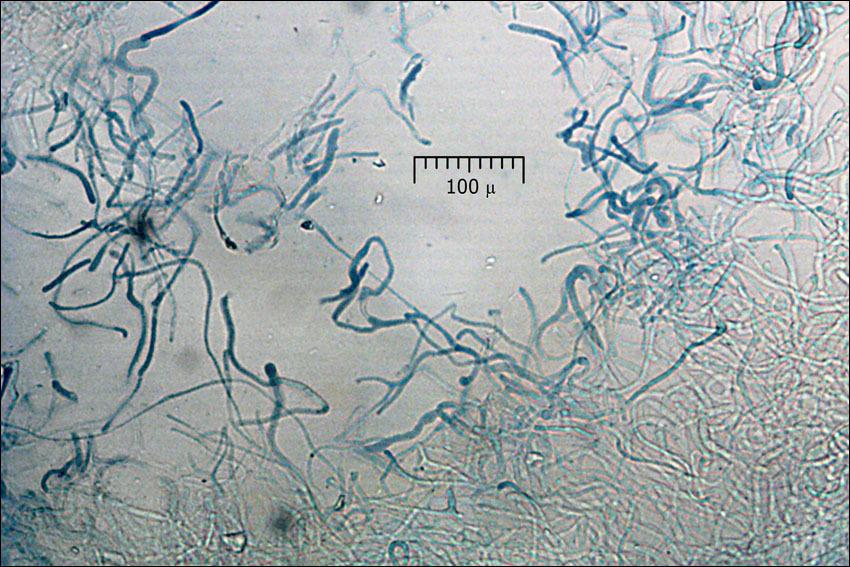 Image of <i>Buchwaldoboletus lignicola</i> (Kallenb.) Pilát 1969