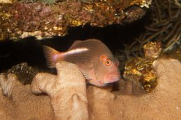 Image of Arc-eye Hawkfish