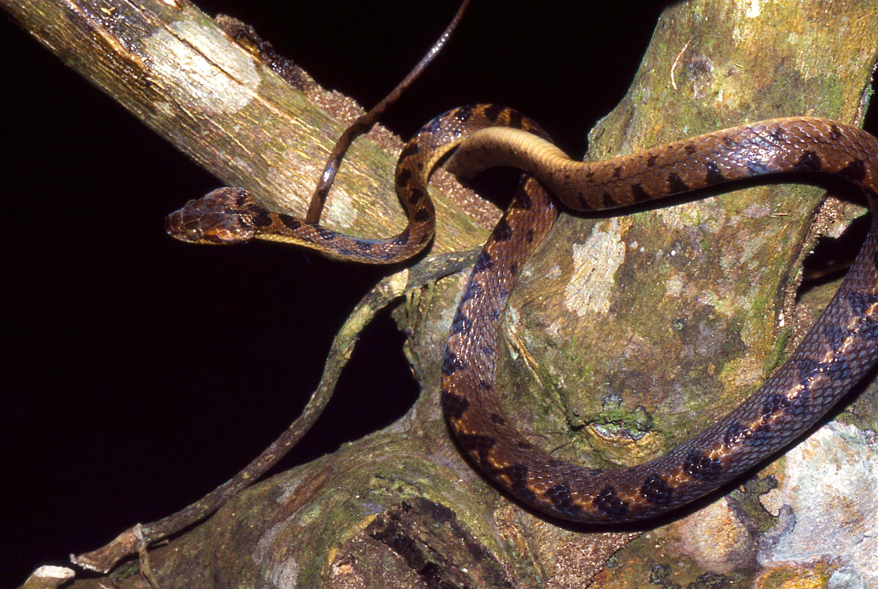 Image of Cat-eyed Snake