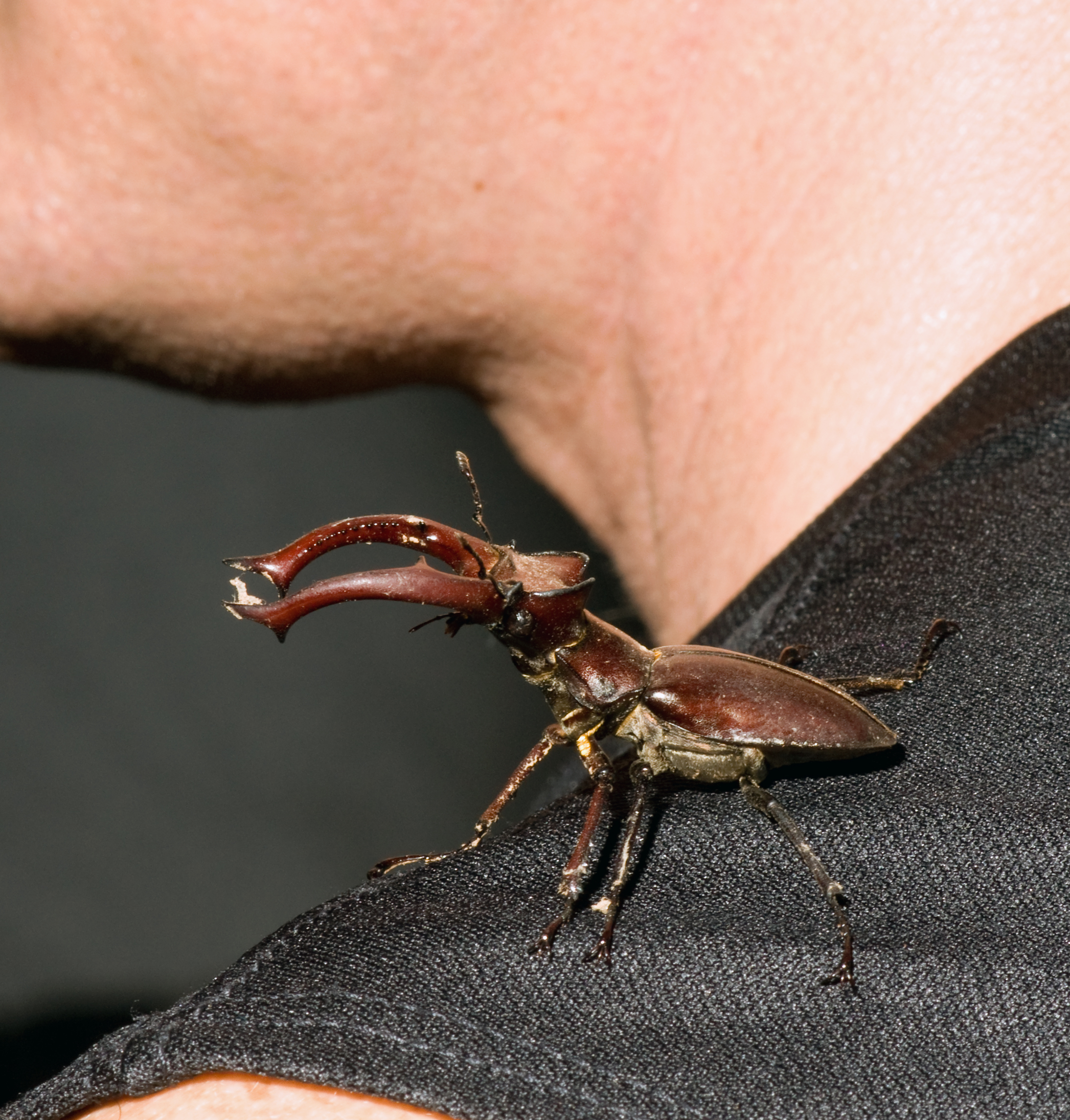 Image of Stag Beetle