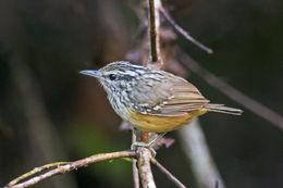 Image of Peruvian Warbling Antbird