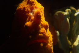 Image of Ocellated Frogfish