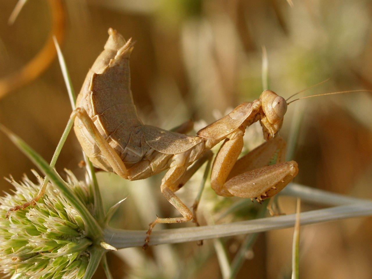 Image of European Dwarf Mantis