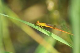 Image of Orange-tailed Sprite