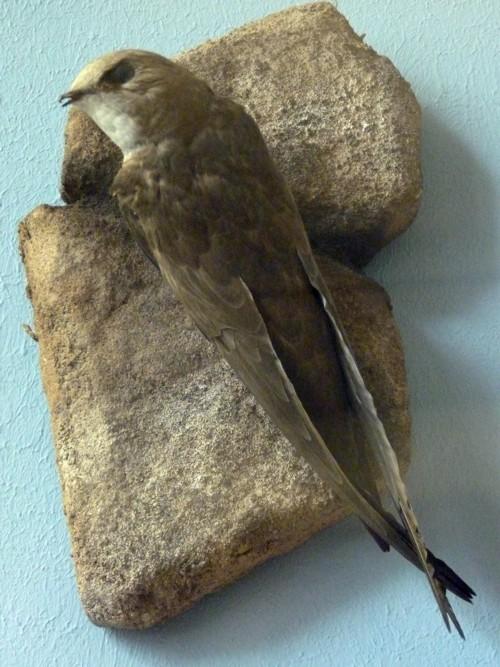 Image of Pallid Swift