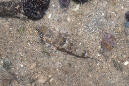 Image of Common dragonet