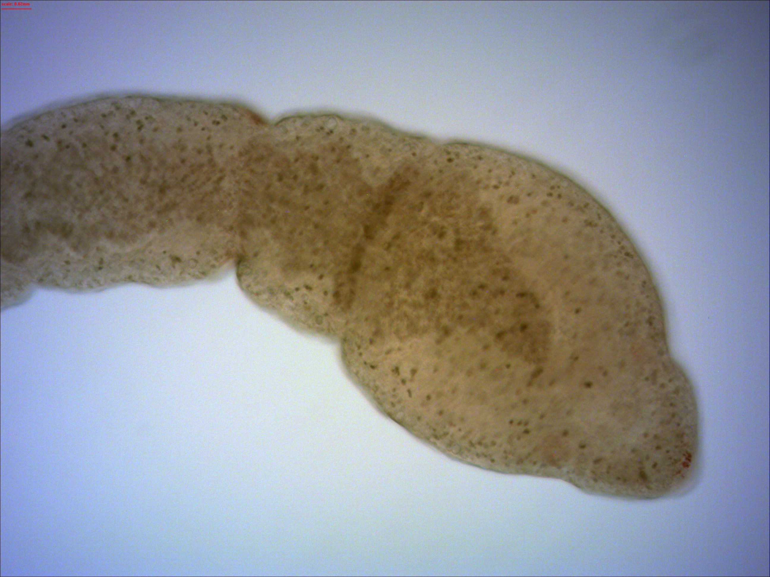 Image of <i>Microstomum lineare</i> (Müller OF 1773)