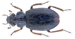 Image of <i>Ochthebius almorensis</i>