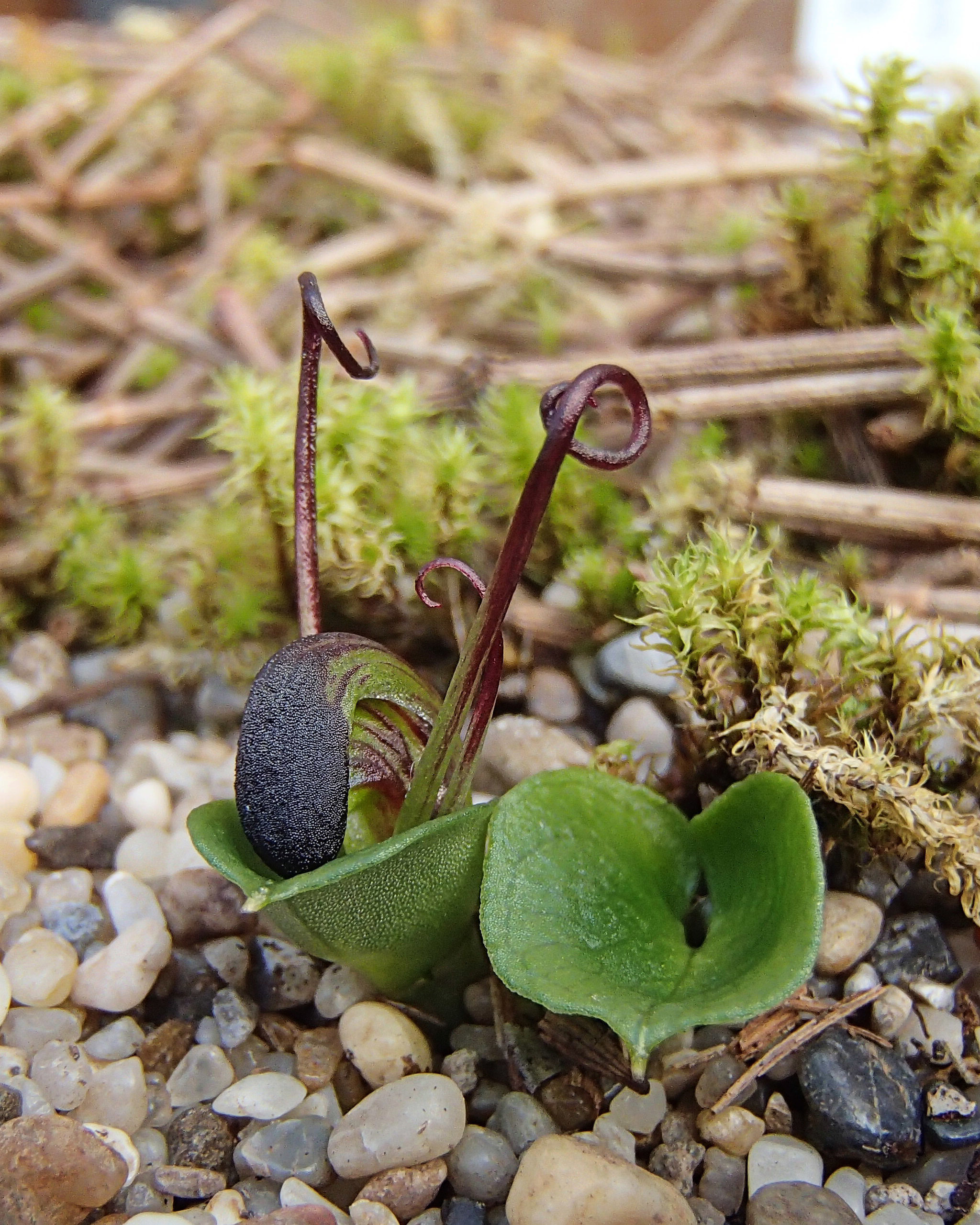 Image of <i>Corybas sulcatus</i> (M. A. Clem. & D. L. Jones) G. N. Backh.