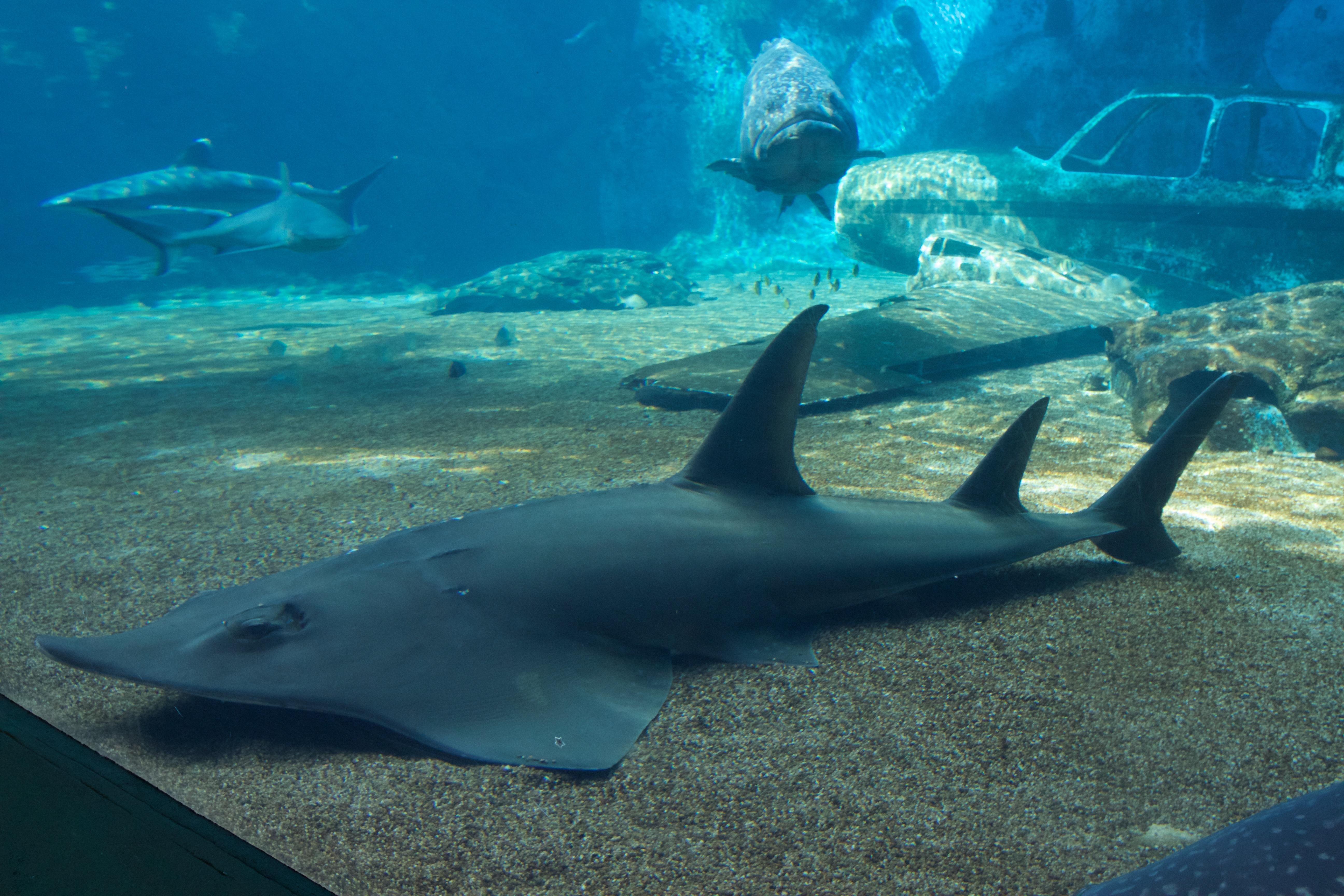 Image of Giant Guitarfish