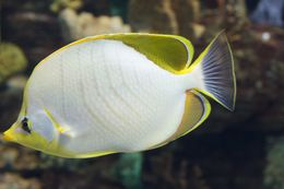 Image of Goldheaded Butterflyfish