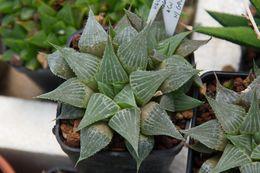 Image of <i>Haworthia retusa</i> var. <i>acuminata</i>