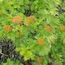 Image of <i>Sorbus randaiensis</i> (Hayata) Koidz.