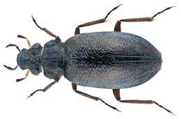 Image of <i><i>Ochthebius</i></i> (Ochthebius) <i>quadrifoveolatus</i> Wollaston 1854