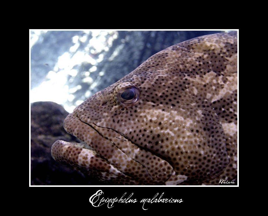 Image of Malabar Grouper