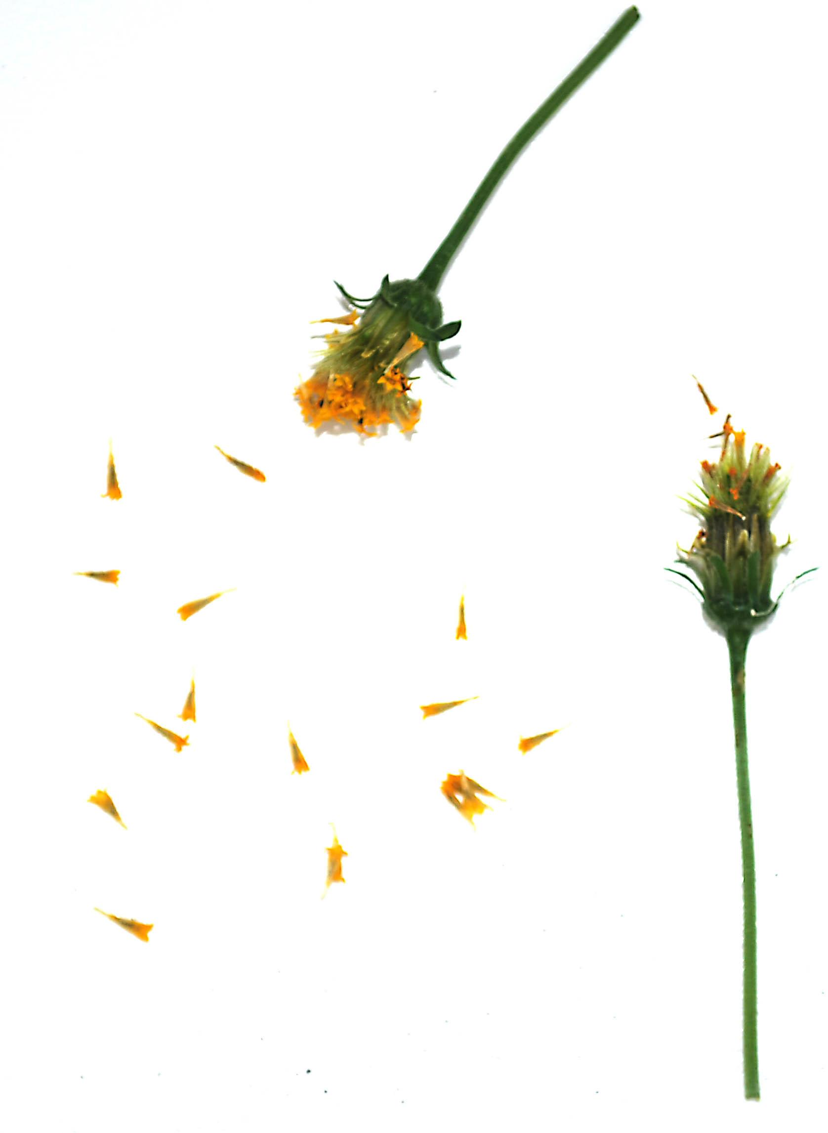 Image of hairy beggarticks