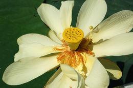 Image of American lotus