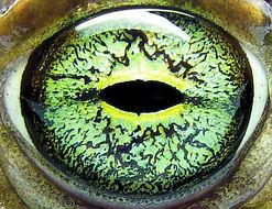 Image of <i>Bufo viridis</i>